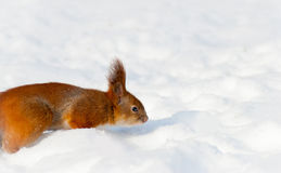 Red squirrel on the snow Royalty Free Stock Photography