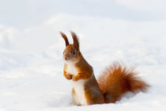 Red squirrel on the snow Stock Photo