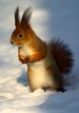 Red squirrel on snow Stock Photos