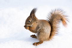 Red squirrel on snow Stock Image