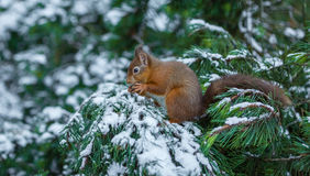 Red squirrel in snow covered pine tree Royalty Free Stock Images