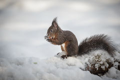 Red squirrel on snow Royalty Free Stock Photo
