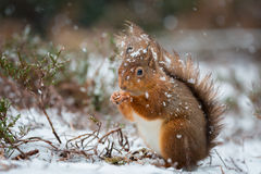 Red Squirrel in snow fall Stock Photos