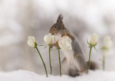 Red squirrel  in snow  is looking between white roses. Red squirrel  in the snow  is looking between white roses Royalty Free Stock Images