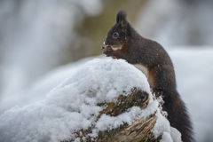 Red squirrel in snow Stock Photos