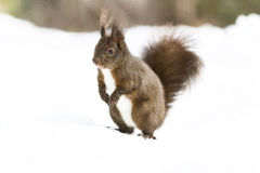 Red squirrel on the snow Stock Image