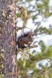 Red squirrel on the snow Royalty Free Stock Photos