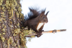 Red squirrel on the snow Stock Photos