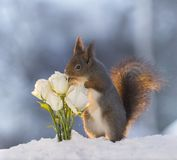 Red squirrel  in snow  is smelling white roses. Red squirrel  in the snow  is smelling white roses Royalty Free Stock Images