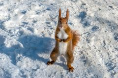Red squirrel in snow. A red squirrel standing on the snow Royalty Free Stock Photos