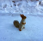 Red squirrel on the snow. Squirrel stands on hind legs, Close-up of squirrel, on snow background Royalty Free Stock Photography