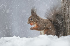 Red squirrel in snow storm Royalty Free Stock Photography