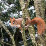 Red Squirrel in Snow Stock Photography