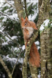 Red Squirrel in Snow Stock Image