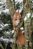 Red Squirrel in Snow Stock Photo
