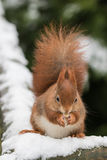 Red Squirrel in Snow Stock Images