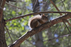 Red Squirrel Soaking Up the Sun Stock Photo