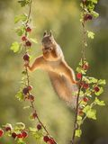 Squirrel in split between branches with gooseberries Royalty Free Stock Photos