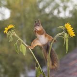 Red squirrel in a split between sunflowers Stock Photo