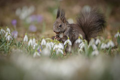 Red squirrel in spring Stock Photo