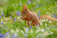 Red squirrel in spring Royalty Free Stock Photography