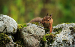 Red Squirrel. Red Squirre on the search for food stock photo
