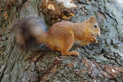 The red squirrel. Stock Photo