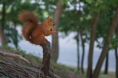 The red squirrel. Royalty Free Stock Photography