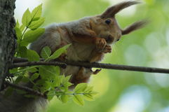 The red squirrel. Royalty Free Stock Photo