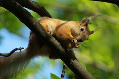 The red squirrel. Royalty Free Stock Photos