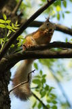The red squirrel. Stock Photography