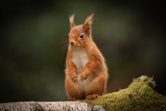 Red Squirrel standing. Royalty Free Stock Photo