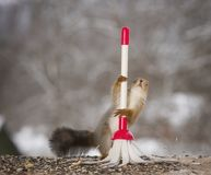 Red squirrel standing behind a brush. Red squirrel is standing behind a brush Royalty Free Stock Photos