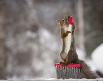 Red squirrel standing with a brush. Red squirrel is standing with a brush Royalty Free Stock Photos