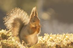 Red squirrel standing in golden light Royalty Free Stock Photo