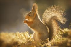 Red squirrel standing in golden light Stock Photos