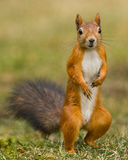 Red squirrel standing on grass. Red squirrel standing on two legs on grass facing the camera stock images
