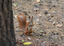 Red squirrel standing on the ground watching Royalty Free Stock Image