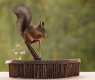 Squirrel standing on a harp Royalty Free Stock Photography