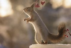 Squirrel standing on ice reaching up Stock Photo
