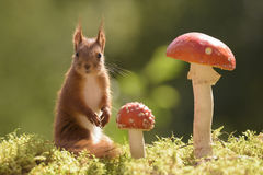 Red squirrel is standing with  mushrooms Royalty Free Stock Images