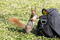 Red squirrel standing near camera bag in green grass Royalty Free Stock Photo