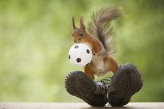 Red squirrel is standing on sneakers with an ball Stock Photos