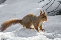 Red Squirrel standing on snow Royalty Free Stock Photo