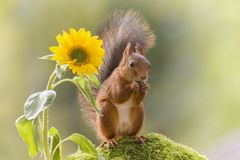 Red squirrel standing beside a sunflower Royalty Free Stock Photography