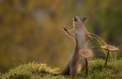 Squirrel standing together with mushrooms reaching Royalty Free Stock Photo