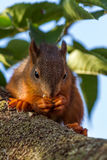 Red squirrel standing on the tree and eating Stock Image