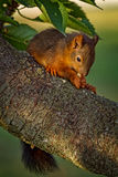 Red squirrel standing on the tree and eating Royalty Free Stock Photos
