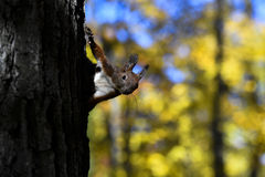 Red squirrel standing on a tree Stock Images
