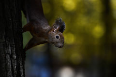 Red squirrel standing on a tree Stock Photography